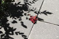 散る蓮 - 写真の記憶