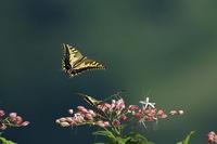 お山の蝶々キアゲハとクロアゲハ - 野鳥公園