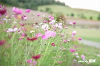 満開「秋桜」 - 藍の郷