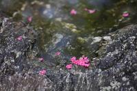 百日紅の変化 - 写真の記憶