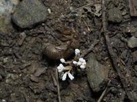 ツクツクボウシタケ - 狭山丘陵の自然 ~ ベニヒワ♪の自然観察 ~