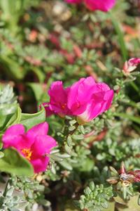 ピンキーの花。 - 森小日記(もりしょうにっき)