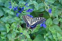 キアゲハうれしい訪問 - 蝶のいる風景blog