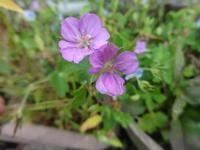 現の証拠&眼鏡露草 - だんご虫の花