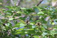 隣の市の公園コサメビタキに逢いにその3 - 私の鳥撮り散歩