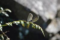 クロツバメシジミ9月5日 - 超蝶