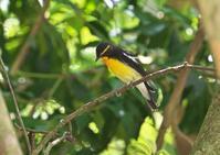 キビタキ - くまさんの二人で鳥撮り