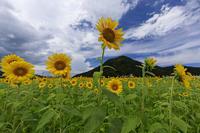 小浜宮川ひまわり畑(福井県小浜市) - 花景色-K.W.C. PhotoBlog