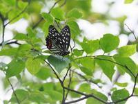 地元にもアカボシゴマダラが定着 - 蝶超天国