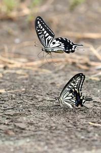 アゲハ・・・河口付近で給水 - 続・蝶と自然の物語