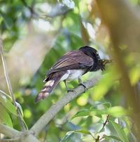 サンコウチョウムシクイ - 打出頑爺の鳥探し