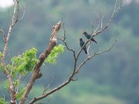仕事続きで・・・ブッポウソウ。 - 鳥見んGOO!(とりみんぐー!)野鳥との出逢い