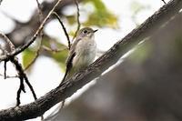 雨の・・・コサメビタキさん - 鳥と共に日々是好日②