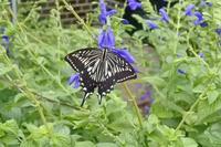 ヒメアカタテハ台風下庭の蝶 - 蝶のいる風景blog