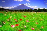 令和2年8月の富士(18)花の都公園コスモスと富士 - 富士への散歩道 ~撮影記~