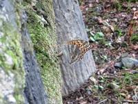 ミドリヒョウモンの産卵 - 秩父の蝶