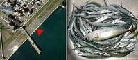 2020.9.7   苫小牧東港フェンス横のサヨリ釣り12:00〜15:30 - たどり着いたら、いつもチカ釣り