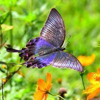 ミヤマカラスアゲハの金属光沢の美しさは垂涎モノだ♪ - 『私のデジタル写真眼』