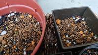 スパニッシュフラメンコの芽が出てきました(^^) - Ree's Blog