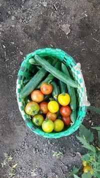 野菜の収穫、野菜畑の管理 - 今猫ちぐら作成に大はまり!!          (My handmaid items and Farmer's daily life)
