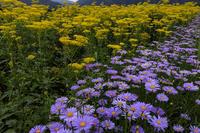 越畑の女郎花と夏の花々 - 花景色-K.W.C. PhotoBlog
