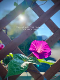 * morning glory - Kaara's Eye