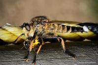 塩屋虻【シオヤアブとハチ】 - kawanori-photo