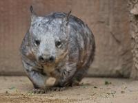 メルボルン動物園のケバナウォンバット④ - bonsoir