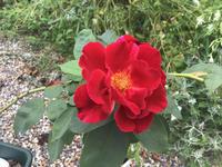 返り咲きと書いてあったがしょっちゅう咲いているバラ - バラやらナンやら