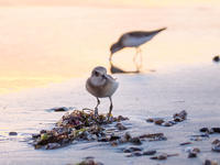シギチで浜辺が賑やかになりました - ひとり野鳥の会