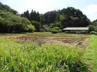 キョウシンの稲刈り - 千葉県いすみ環境と文化のさとセンター