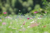 鼻高展望花の丘のコスモス2020年2 - 光の音色を聞きながら Ⅴ