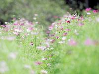 鼻高展望花の丘のコスモス2020年3 - 光の音色を聞きながら Ⅴ