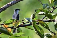 秋の気配・・・サンショウクイさん - 鳥と共に日々是好日②
