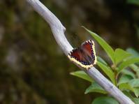 お山のキベリタテハ - トドの野鳥日記