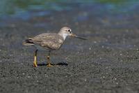 ソリハシシギ(反嘴鷸) - 野鳥などの撮影記録