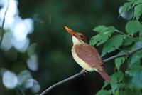 アカショウビン幼鳥 - 気まぐれ野鳥写真