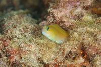 ハナダイギンポ - Diving Photo web図鑑