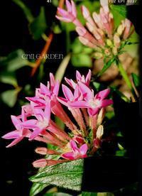 ニコニコ顔のシソの花♬︎♡とパキッとポチッ - どんぐりの木の下で……