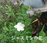 ジャスミンの花の薬効など - 昭和薬局ブログ