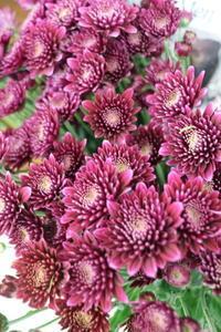 9月9日は重陽の節句 - Bouquets_ryoko