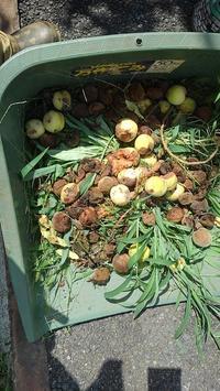 桃の実が~ - ウィズコロナのうちの庭の備忘録~Green's Garden~