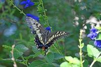キアゲハ今日の庭の蝶 - 蝶のいる風景blog