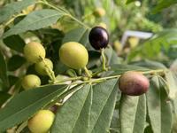カレーの木の果実と薔薇ボレロ - いととはり