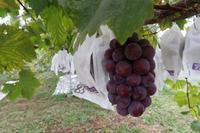 ピオーネの収穫が始まります。 - ~葡萄と田舎時間~ 西田葡萄園のブログ