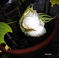 綿栽培20209月10日最初の実がはじけました♫ - ルーマニアン・マクラメに魅せられて
