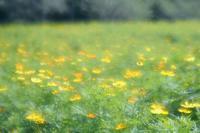 鼻高展望花の丘のコスモス 2020年6 - 光の音色を聞きながら Ⅴ