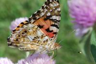 蝶(ヒメアカタテハ)① - かたくち鰯の写真日記2