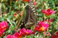 蝶(アゲハ・モンシロチョウ) - かたくち鰯の写真日記2