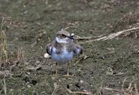 コチドリ⑤幼鳥の羽繕い - バードカラー